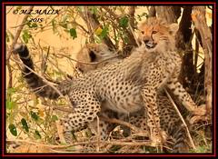 CHEETAH CUBS  (Acinonyx jubatus).....MASAI MARA....OCT 2015 (M Z Malik) Tags: nikon d3x 200400mm14afs kenya africa safari wildlife masaimara maraserena transmara exoticafricanwildlife exoticafricancats cheetah cheetahcubs flickrbigcats ngc npc