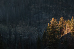 Pines and Fire Damaged Forest (justinmullet) Tags: autumn beautiful bright brilliant contrast dark dramatic fall fir landscape lastlight lit mountain natural nature northwest outdoor outdoors outside pine sunset tree unitedstates washington wild wilderness