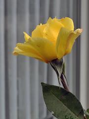 Ein letztes Blhen im Herbst (borntobewild1946) Tags: herbst nrw nordrheinwestfalen copyrightbyberndloosborntobewild1946 blten blhen letztesblhen rose rosenblte