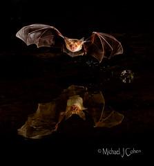 Pallid Bat, Arizona (MyKeyC) Tags: pallidbat halloween bat reflection night trigger the pond elephant head drinking flying