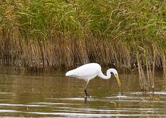 Jalohaikara (ville koponen) Tags: yyterigolf yyteri vanhankaupunginlahti jalohaikara birds nature