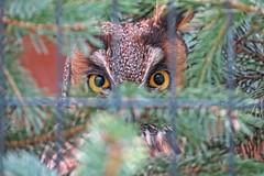 EYES (ddt_uul) Tags: owl bird eyes eye howellnaturecenter michigan look camo