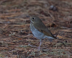Hermit Thrush (Tom Clifton) Tags: pointlobos whalerscabin hermitthrush