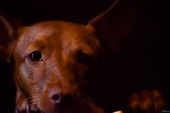 Carla (juliosabinagolf.) Tags: d3300 nikkor nikon perro dog podenco espaa comunidadespaola mascota animal explore