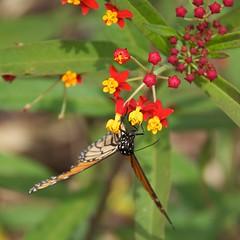 Monarch on Milkweed - HWW (11Jewels) Tags: canon 18200 monarch milkweed secretgarden cadzan ringlingmuseum sarasotafl florida wingwednesday