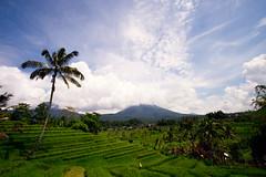 _DSF8228-Edit (davidrose18) Tags: fuji bali indonesia travel fujifilm xt1 travellers ricefields jatiluwih palmtree