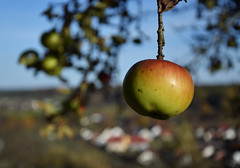 DSC_0227 (Lala89_Photos) Tags: apple apfel fruit hanging tree baum apfelbaum frucht food autumn herbst