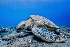 IMG_3359 (sandi perera) Tags: turtle tortue verte green tortoise freediving freediver apne apnee apnea ocan ocean