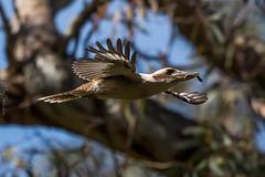 Kookaburra, Para Wirra Conservation Park SA (danny.mccreadie2) Tags: kookaburra parawirraconservationparksa