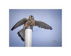 They went that way!! (silver/halide) Tags: kestrel birds birdofprey hayle hayleharbour cornwall kernow d750 johnbaker outdoor wildlife predator falcotinnunculus falcon wildbird
