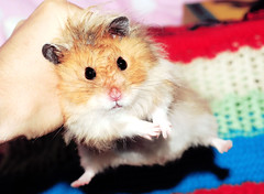 Gucio can fly! (pyza*) Tags: gucio hamster hammie chomik syrianhamster animal pet boy muppet fluffy furry cute adorable monster