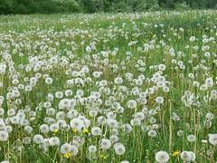 Fritzlar P1020406 (martinfritzlar) Tags: fritzlar schwalmederkreis nordhessen hessen wiese blumen pusteblumen lwenzahn meadow flower dandelion