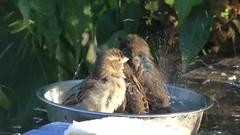 Bath Time Fun..x (Lisa@Lethen) Tags: sparrow bath splash fun nature wildlife bird