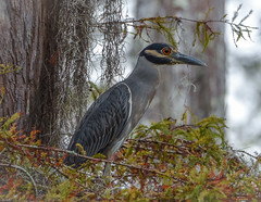 Yellow-crowned Night Heron (Aliparis) Tags: purple louisianaspillway yellowcrownednightheron nature naturallight nikond7100 naturallightphotography wildlife waterbirds bayou river swamp cypresstrees bird fishing 80400lens fall autumnleaves