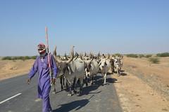 DSC_0165 (Chandan K. Pathak) Tags: kutch gujarat herd cow shepherd