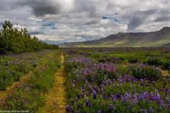 Lupinenfeldern vom Seljalandsfoss (explored 01.12.2016) (AnBind) Tags: island fotoreise 2016 arrresien ereignisse urlaub suurland is