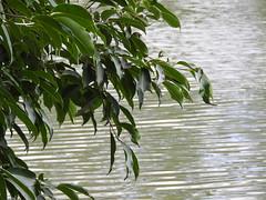 DSCN0260 (apacheizabel) Tags: lago pssaros rvores cu pinhas tronco espelho dgua queroquero rolinhas banco no bosque famlia de galinhas passeio parque centro aeroespacial da aeronutica cta so jos dos campos sp
