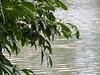 DSCN0260 (apacheizabel) Tags: lago pássaros árvores céu pinhas tronco espelho dágua queroquero rolinhas banco no bosque família de galinhas passeio parque centro aeroespacial da aeronáutica cta são josé dos campos sp