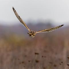 Short Eared Owl - Heartwood Forest - Last Year (irelaia) Tags: seo prey bird wild shortie forest heartwood owl eared short