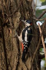 great spotted woodpecker grote bonte specht (kPepels) Tags: great spotted woodpecker grote bonte specht