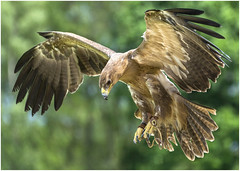 Tawny Eagle (DHHphotos) Tags: tawny eagle icbp gloucester newent raptor bird prey nikon d5300