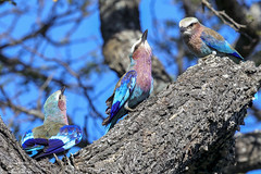 Learning the ropes -Lilac-breasted Roller (Coracias caudatus Race caudatus) Kruger Park, South Africa 2014 (Ricardo Bitran) Tags: coraciascaudatusracecaudatus lilacbreastedroller krugerpark southafrica birdsofkruger birdsofsouthafrica birdsofafrica