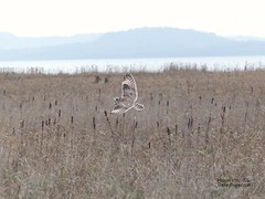 Short Eared Owl - Delta, BC (Michael Klotz - The Bird Blogger.com) Tags: shortearedowl asioflammeus bird brunswickpoint delta bc britishcolumbia canada cattails bullrush marsh georgiastrait vancouver brown reed grass blogger com