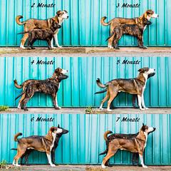 2-7-Monate (Maria Zielonka) Tags: hund hunde hundefotografie dog dogs dogphotography shepherd shepherddog schäferhund holländischerschäferhund hollandseherdershond herder puppy welpe puppies welpen schäferhundwelpe entwicklung mariazielonkafotografie champ daemon vom flensburger land