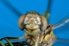 Cheesey grin (affectatio) Tags: macro mpe65 bug insect dragonfly odonata cheesey grin 6d canon6d focusstack zerene