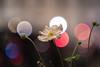IMG_0633 (::Lens a Lot::) Tags: carl zeiss jena biometar 120 mm f 28 1956 | 8 blades iris pentacon6 m42 f28 bokeh flower color depth field vintage manual german east ddr fixed length prime lens classic germany profondeur de champ fleur plante