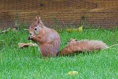 KMH_3653 (Island Snapper) Tags: redsquirrel iow wight shanklin