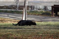 Puma (ahmetozcelik06) Tags: puma bigcat cat black siyah kedi av peinde wild