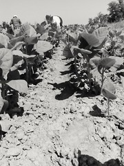 2016-11-25_12-21-22 (chrimaria_alex) Tags: macedoniagreece makedonia timeless macedonian     tobacco plant cultivation