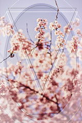 Spring Cherry Blossoms - Edit (thethomsn) Tags: artwork cherry blossom pink rose faded triangle branch tree nature frombelow lowangleview outdoors spring season light bright vintage dof bokeh sigma30mm thethomsn floral