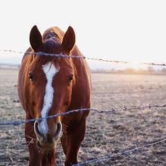 86/365 Fence Friday with whiskers (fotovivo / peevish me) Tags: 365 postaphotoaday horses fencefriday square goldenhour barbedwire whiskers fotovivo