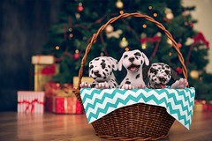 Dalmatian Puppies by Mutresse (Eeky Cioc) Tags: puppy cute dogs four paws mammal original mesh scripted animated