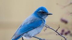 Jay 2 (KWinters Photography Colorado) Tags: sigma nikon d7200 nikondigital nikondsl nature colorado blue scrubjay jay closeup flickr flickrnature feathers vogel natur nahaufnahme