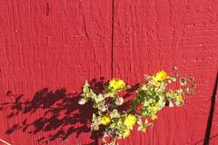 IMG_0909 (hammonton_garden) Tags: 2016 communitygarden fall hammonton southjersey nj gardenstate