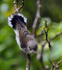 IMGP6289 Grey Warbler with Damselfly prey Zealandia Wellington NZ 29-11-16 (Donald Laing) Tags: new zealand wellington zealandia wildlife sanctuary native birds plants donald laing