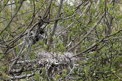 Little Black Cormorant Nests (blachswan) Tags: lakewendouree ballarat victoria australia nest nests willowisland littleblackcormorant