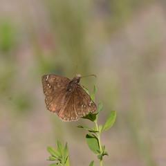 Juvenal's Duskywing_4313 ( Erynnis juvenalis ) (agawa2yukon) Tags: hesperiidae pyrginae butterflies butterfly algoma lepidoptera