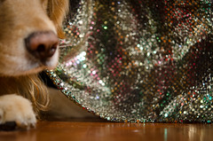 Peek-A-Boo (bztraining) Tags: dogchal henry odc bzdogs bztraining golden retriever 3662016