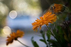 ILCE-6000-20161129-06593 // Carl Zeiss Jena Tessar 50mm 1:2.8 (Otattemita) Tags: 50mmf28 carlzeissjena carlzeissjenatessar50mmf28 florafauna flower nature plant wildlife carlzeissjenatessar50mm128 sonyilce6000 ilce6000 sony 50mm
