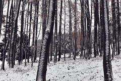 windward side (.martinjakab) Tags: fujifilm schnee wald x100t forest parallel snow trees trunks winter wood ngc