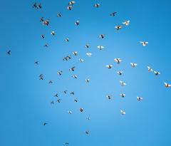 Tuvitants (Zbanski Kino) Tags: tuvi pigeons taevas linnuparv
