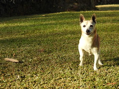 At the Ready (Mama Shaz) Tags: dog jackrussell alert goldenlight