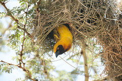 Dream Weaver (Pete Foley) Tags: africa kenya safari shining maasaimara weaverbird anawesomeshot overtheexcellence exoticimage