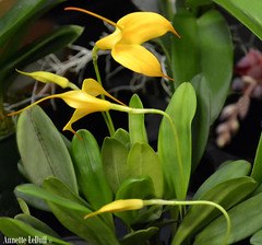 Delicate Yellow Orchids (Annette LeDuff) Tags: orchid flower leaves yellow flora exhibit orchidaceae delicate yellowflowers favorited perfectpetals flowerbudsandblossoms michiganorchidsociety madisonheightsmi blackintheback unforgettableflowers gardenparadise addictedtoflower mamasbloomers shootingstarsawards thebestofunforgettableflowers naturë earthcreateswearetheusers photoannetteleduff annetteleduff onlyorchids 04012012 madaboutflowers