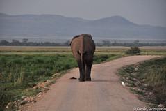 2011-03 D2a - Amboseli Park-17.jpg (cassio.scomparin) Tags: africa kenya safari elefante riftvalley paises oltukai qunia animaisewildlife