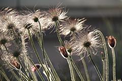 Maiabend (im_fluss) Tags: flowers backlight blumen withered enlightened gegenlicht verblht pulsatilla kchenschelle springevening